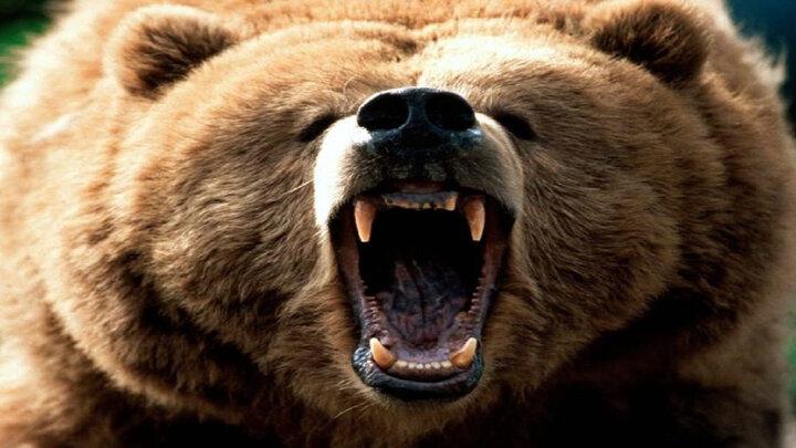 حمله خرس گرسنه به یک چوپان در خوزستان / ۱۰ راس گوسفند تلف شدند