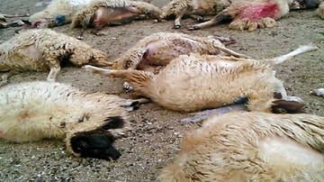 حادثه عجیب در خراسان شمالی/ ۲۵ راس گوسفند تلف شدند