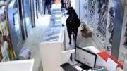 حمله گاو عصبانی به مغازه موبایل فروشی / فیلم