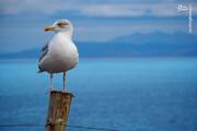 ویدیو باورنکردنی از بلعیدهشدن خرگوش زنده توسط مرغ دریایی!
