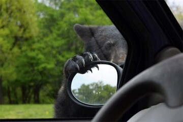 علاقه عجیب حیوان وحشی به خودرو!   مهارت بالای خرس در بازکردن درب خودروها در کمتر از چند ثانیه / فیلم