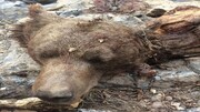 زن و مرد بی رحم لاشه یک خرس قهوهای را  تکه تکه کردند / فیلم