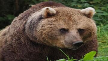شکار بیرحمانه خرس قهوهای توسط زن و مرد سنگدل در مازندران / فیلم