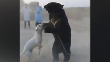 جدال خونین سگ و خرس برای سرگرمی مردم / فیلم