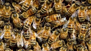 مرگ دردناک زوج جوان هندوستانی به دلیل حمله مرگبار زنبورها / تصاویر
