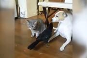 دوستی جالب سگ و گربه با یک کلاغ / فیلم