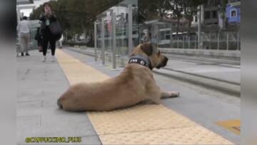 سگی که برای رفت و آمد از وسایل حمل و نقل عمومی استفاده می کند! / فیلم