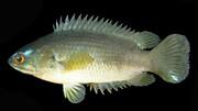 این ماهی نیاز به آب ندارد و بدون آب هم میتواند زندگی کند! / فیلم