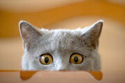 باهوشترین گربه جهان که حرکات صاحبش را تقلید میکند! / فیلم