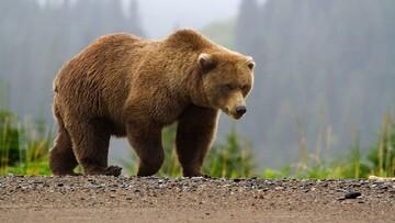ویدیو دلخراش از شکار وحشتناک خرس در فارس