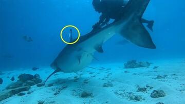 لحظه خارج کردن قلاب ماهیگیری از باله کوسه توسط غواص شجاع / فیلم