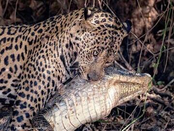 حمله مرگبار جگوار به تمساح! / تصاویر