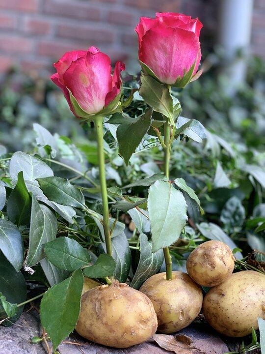 آموزش پرورش گل رز روی سیبزمینی!
