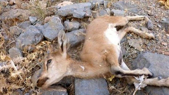 کشف  لاشه ۱۲ راس حیوان در پارک ملی اسفراین / ماجرا چه بود؟