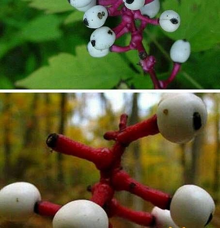 گیاهی عجیب و سمی به نام چشم عروسک که باعث مرگ افراد خواهد شد! / عکس