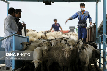 آزادسازی صادرات دام زنده از سوی وزیر جهاد کشاورزی ابلاغ شد