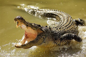 ویدیو هولناک از لحظه حمله تمساح گرسنه به مستندساز استرالیایی