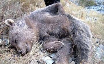 قاتلان یک خرس در مازندران شناسایی شدند / علت عجیب برای سلاخی خرس اعلام شد