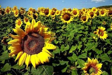 روش متفاوت جداسازی تخمه از گل آفتابگردان /فیلم