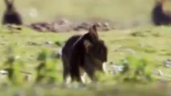 شکار عجیب خرگوش بالغ توسط سمور کوچک / فیلم