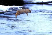قدرت عجیب یگ گربه برای پرش از رودخانه / فیلم