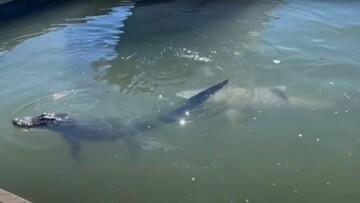 حمله کوسه به تمساح در دریا / فیلم
