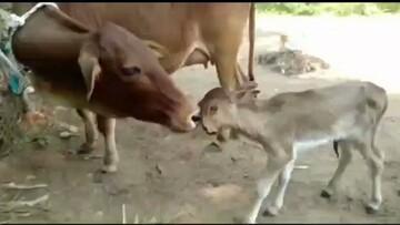 تولد گوساله عجیب با دوسر و سه چشم / فیلم