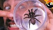 کشف عنکبوت سمی عظیمالجثه در زیر تختخواب / عکس