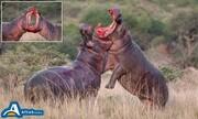جدال خونین دو اسب آبی غول پیکر در طبیعت / عکس