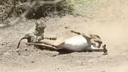 لحظه شکار غزال توسط پلنگ گرسنه / فیلم