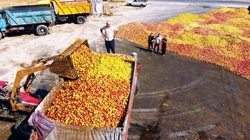 سودجویی دلالان؛ کشاورزان این میوه خوشمزه را کیلویی ۵۰۰ تومان میفروشند!
