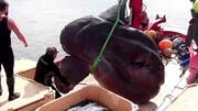 ویدیو جالب از شکار ماهی بزرگ ۲ تنی