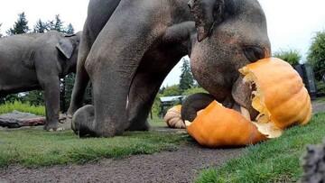برگزاری جشن هالووین برای فیلها / فیلم