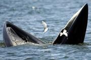روش جالب نهنگ برای فریب دادن ماهی برای شکار / فیلم