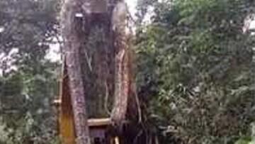 لحظه نجات مار غول پیکر از روی درخت با جرثقیل / فیلم