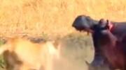 نبرد وحشیانه اسب آبی با شیر ماده / فیلم