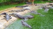 لحظه پرت شدن میمون به داخل حوضچه پر از تمساح / فیلم