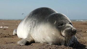 علت مرگ غیر عادی فکهای دریای خزر چیست؟ / فیلم