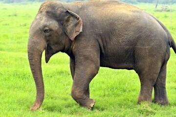 ویدیو بامزه از خارج کردن فیل بازیگوش از گودال با بیل مکانیکی