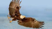 شنای عقاب در دریا به دلیل سنگینی وزن شکار / فیلم