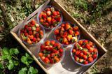 فصل برداشت توت فرنگی در کردستان فرا رسید