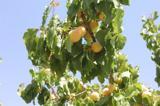 افزایش ۶۲درصدی تولید زردآلو در آذربایجانغربی
