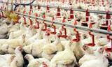 دلیل افزایش قیمت مرغ چیست؟/ گرمای هوا یا گرانی؟