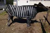 این گاوها  گورخر شدند!