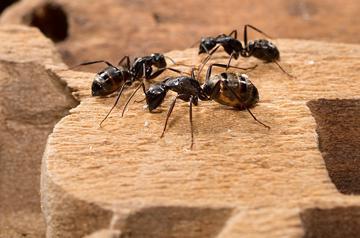 همه چیز راجع به مورچه های نجار