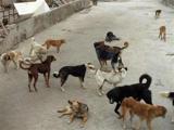 هجوم سگهای ولگرد به گناوه