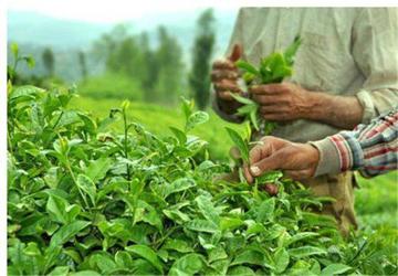 کاربردی  بی نظیر از تفاله چای