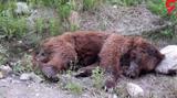 یک خرس قهوه ای در بابل کشته داد + عکس