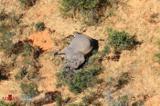 مرگ مرموز بیش از ۳۵۰ فیل در قاره آفریقا/تصاویر