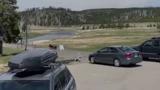 تلاش بی وقفه  خرس گریزلی برای شکار گاومیش آمریکایی